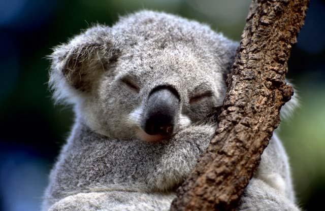 1393500101_koala